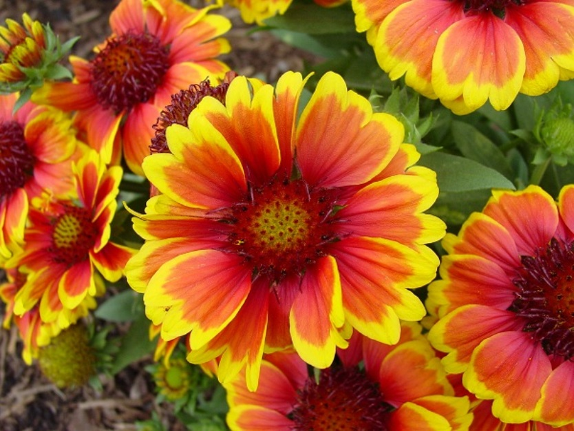 ดอกเดือนฉาย  Gaillardia Blanket flower Red &Yellow